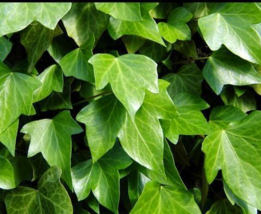 """25 English Ivy Vines - Hedera helix- Live 12""""-18"""" Bare Root Plants Free Shipping - $127.70"""