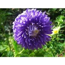 Duchess Dark Blue Paeony Aster Flower 30 Seeds #SFB11 - $18.17