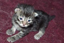 Black and White Custom Pet Portraits Cat Kitten Dog Puppy Kat-Renee Kittel image 2