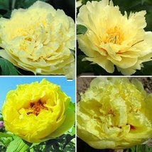 Heirloom Peony Yellow Series 4 Types Flowers, 5 Seeds Big Blooms Double ... - $13.58