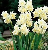 1,10 Fresh Bulbs - Roteveel Indoor Narcissus Erlicheer #LLSM3 - $11.50+