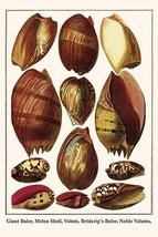 Giant Baler, Melon Shell, Volute, Briderip's Baler, Noble Volutes, by Albertus S - $19.99+