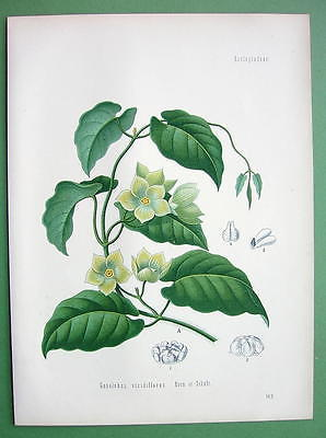 CONDURANGO Gonolobus S. American Vine - SUPERB Botanical Print Color