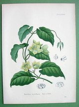 CONDURANGO Gonolobus S. American Vine - SUPERB Botanical Print Color - $30.60