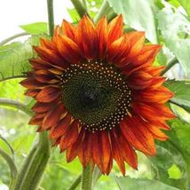 35 RED SUN SUNFLOWER SEEDS Helianthus Annuus Hedge - $5.00