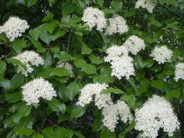 Blackhaw Viburnum qt pot (Viburnum prunifolium) image 3