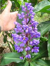 LIVE Pottd Sml Plant Sapphire Blu Ginger Gorgeous Dichorisandra thyrsifl... - $65.00
