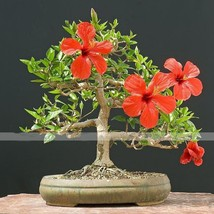 Red Giant Hibiscus Flower Seed Beautiful Flower Bonsai Plant DIY Home Ga... - $2.20