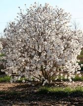 Star Magnolia- Magnolia stellata image 5