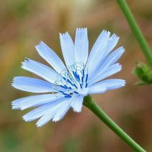 SHIP FROM US 112,000 Chicory Seeds - Seeds may be treated, ZG09 - $44.76