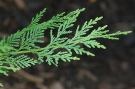 "25 LEYLAND CYPRESS TREE plants 2 1/2"" pot (X Cupressocyparis  leylandii) image 4"