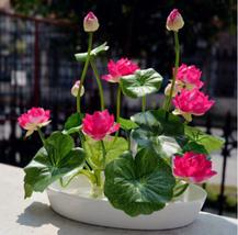 8 pcs / bag ,Lotus seeds , flower seeds, DIY potted plants, indoor / out... - $4.99