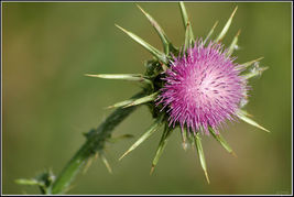Blessed Milk Thistle Seed Detox Herb Homeopathy. 125 seeds, or 1/8 ounce - $11.58
