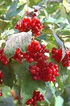 5 Seeds of Viburnum Trilobum - Highbush Cranberry - $13.85