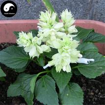 Buy White Salvia Splendens Flower Seeds 320pcs Plant Salvia Splendens Fl... - $15.99