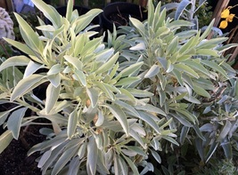 100 Seeds - California White Sage - Ceremonial Aromatic - Sacred Salvia ... - $5.45