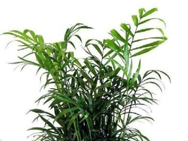 "6"" Pot Victorian Parlor Palm Plant Popular Chamaedorea Indoor Garden Bes... - $54.00"
