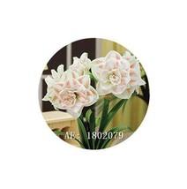 HAPPY FLOWER 2 Bulbs TULUSREJO True Hippeastrum Rutilum Amaryllis Love S... - $1.79