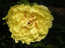Peony 'Goden Years' Gold Flowers Seeds 5PCS Heirloom Big Fragrant Double Flowers - $8.49