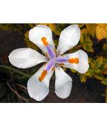 10 Seeds - Dietes iridioides Cape Iris - $17.86