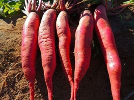 SHIP From US, 300 Seeds Red Arrow Sprouting Radish, DIY Healthy Vegetabl... - $39.99