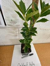 Oak leaf Holly image 3