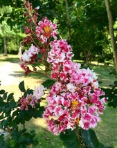 3 Potted Plants Crape Myrtle Peppermint Lace Lagerstroemia indica  - $89.99