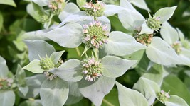 Native Whorled Mountain Mint, Pycnanthemum verticillatum, Pollinator mag... - $3.50