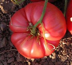 10 Seeds of Henderson's Winsall Tomato - $18.81