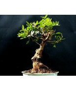 Bonsai Pistacia lentiscus - Ungefähr 16 Jahre alte Pflanze - Mastixbaum - $90.72