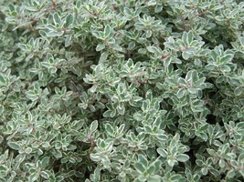 200 mg of Thyme Herb Seeds, Common Thyme, FREE SHIPPING, NON GMO Seeds - $9.99
