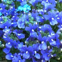 Ship From Us Nemesia Seeds - Blue Gem 100 Seeds, Wb Flowers Seeds - $23.99