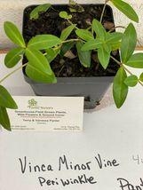 "Vinca Minor vine 4"" pot  graveyard vine image 4"