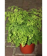 "Maidenhair Fern aka Adiantum Raddianum Live Plant Fit 4"" PotEasy to grow - $4.55"