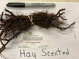 5 Hay Scented Fern clumps(Dennstaedtia punctilobula) image 5