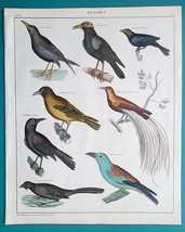 BIRDS Starling Weaver Butcherbird Paradise Roller - 1843 HC Color Print - $25.20