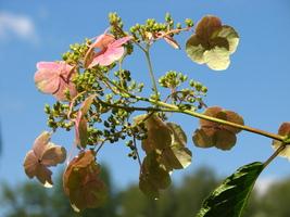 5 Hydrangea Bretschneideri Seeds - $18.96