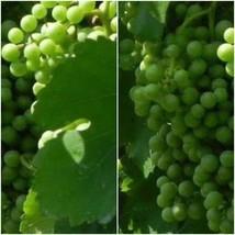 Muscat White Wine Grape Vine 3 gallon Live Plant Home Garden Easy to Gro... - $163.99