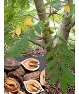 Japanese Heartnut Tree Live Plant Juglans ailantifolia var. cordiformis ... - $39.99