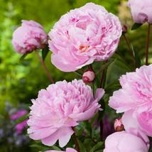 1 Plant - Peony lactiflora Sarah Bernhardt - Paeoniceae - $10.99