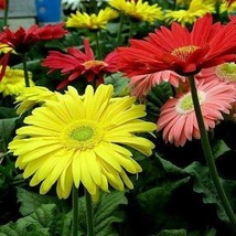 SHIP FROM USA Gerbera Daisy Hybrids Mix Flower Seeds (Gerbera Jamesonii) 40+Seed - $38.21