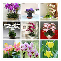 100Pcs Mix-Color European Phalaenopsis Flowers Seeds Beautiful Butterfly... - $4.76