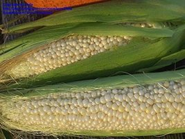 21 grams Packets of Country Gentleman Sweet Corn Plants - $13.66