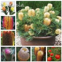 50Seeds Banksia Coccinea Seeds Rare Mixed colors Flower Seeds Bonsai  - $3.99
