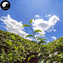 Buy Wuyi Oolong Tea Tree Seeds 60pcs Plant Wu Yi Yan Cha For Da Hong Pao - $9.99
