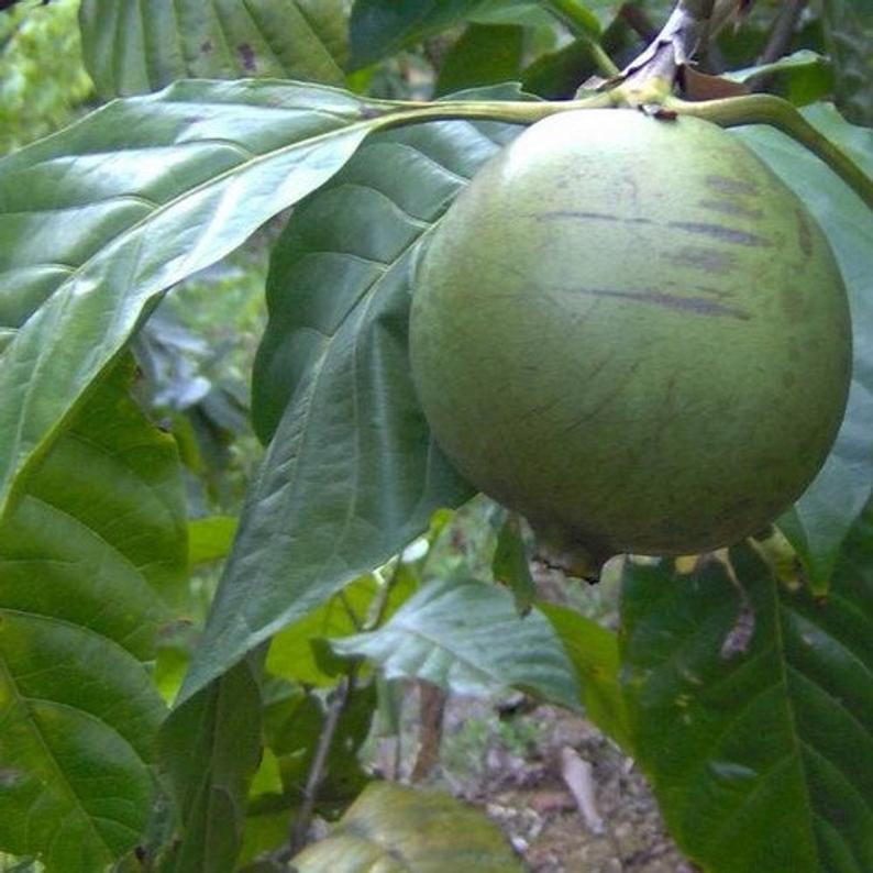 10Pcs Borojo Fruit Tree Seeds Borojoa Patinoi Seed - $20.54
