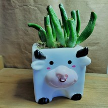"Gollum Jade Succulent in Cow Planter, live plant, 2"" plastic pot black white - $14.99"