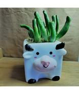 """Gollum Jade Succulent in Cow Planter, live plant, 2"""" plastic pot black w... - $14.99"""