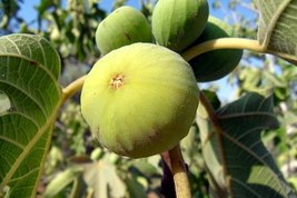 "White Marseilles Italian Honey Fig Plant - 2.5"" Pot - Blanche Fig - $55.99"
