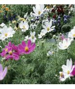 250 Pcs Seeds Wildflower Annual Plant - RK - $14.00